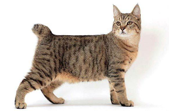 Кошка пикси-боб - вид сбоку