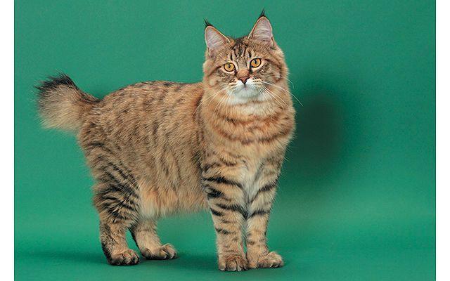 Кошка пикси-боб в полный рост
