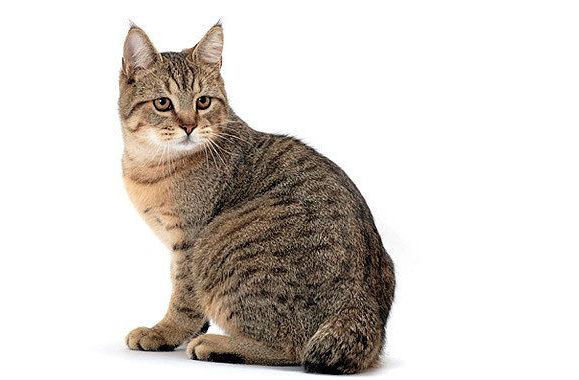 Кошка пикси-боб короткошерстная