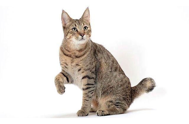 Кошка пикси-боб с поднятой лапкой