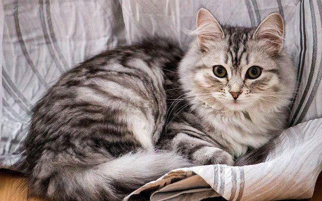 Кошка шиншилла серебристого окраса