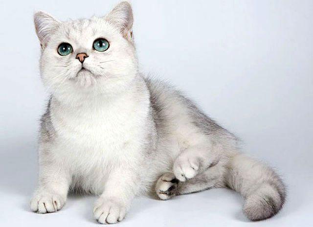 Кошка шиншилла