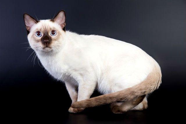 Кошка тайская