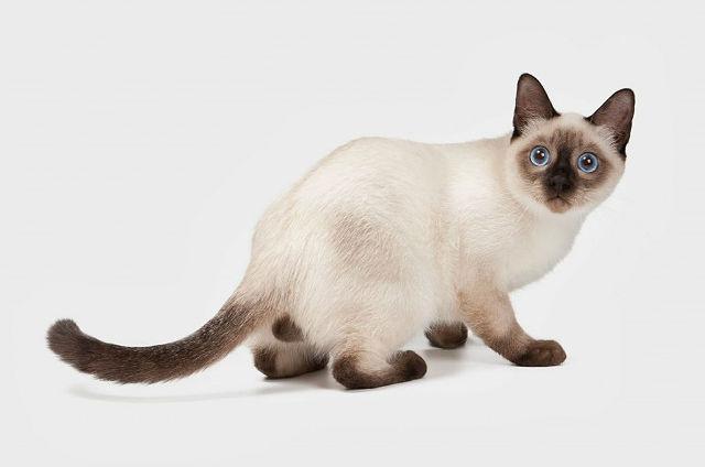 Кошка тайская-2