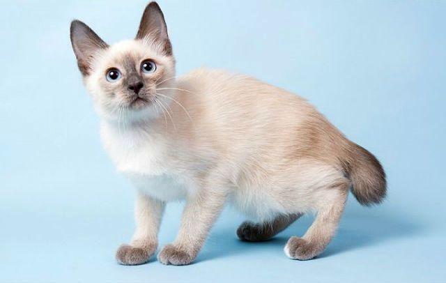 Кошка той-боб - главное фото