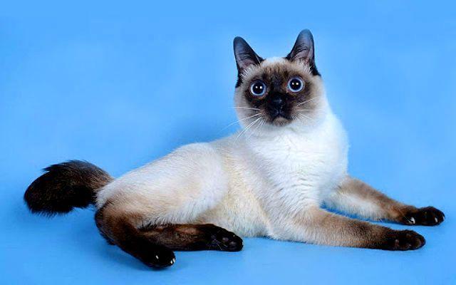 Кошка той-боб - экстерьер