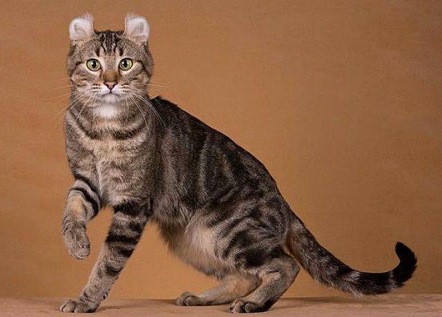 Кошки с круглыми ушами