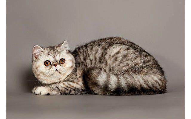 Экзот - кошка с приплюснутой мордой