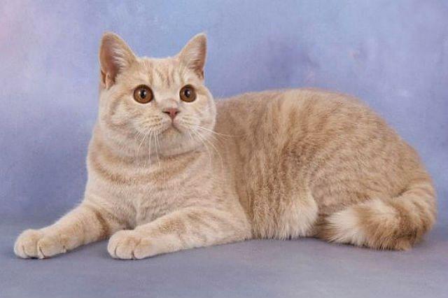 Кремовый кот британец