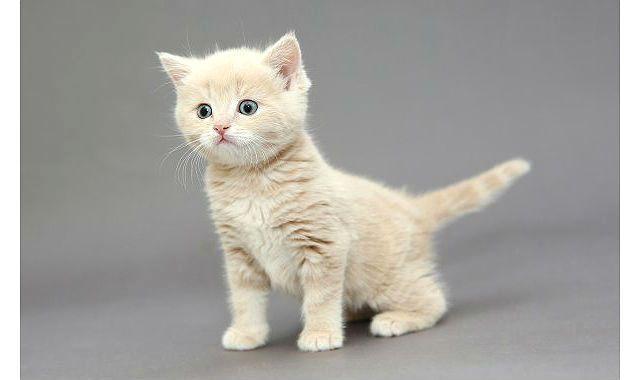 Кремовый британец - котенок