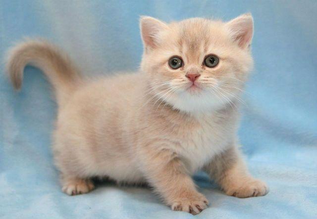 Кремовый котенок британец