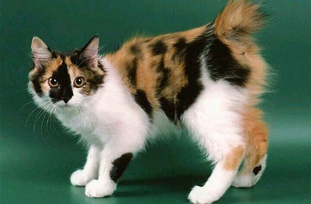 Курильский бобтейл - трехцветная кошка