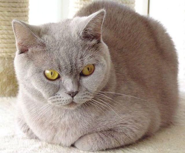 Порода кошки Лиловый британец