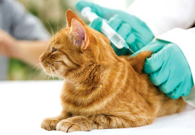 Вакцина от лишая у кошки