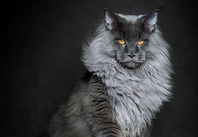 Мейн-кун - большая кошка