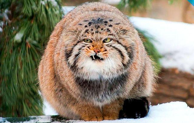 Манул - дикая кошка с приплюснутой мордой