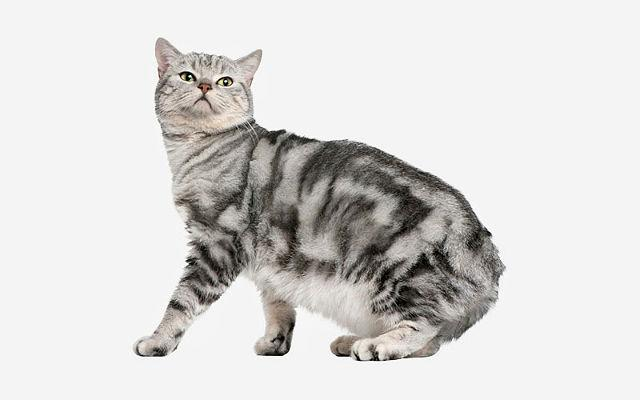 Кошка с коротким хвостом мэнкс