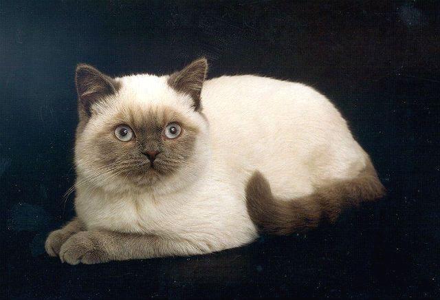 Метис британца и сиамской кошки