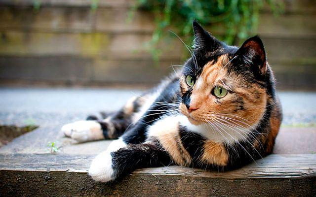 Кошки метисы