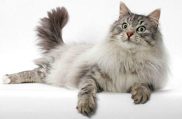 Норвежская лесная кошка лежит