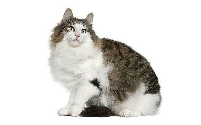 Норвежская лесная кошка сидит