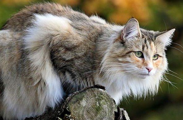 Норвежская лесная кошка на бревне