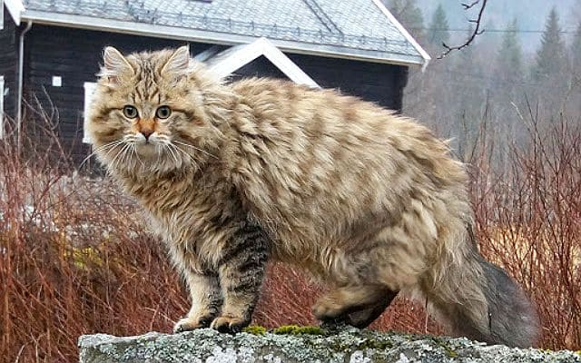 Норвежская лесная кошка полосатая