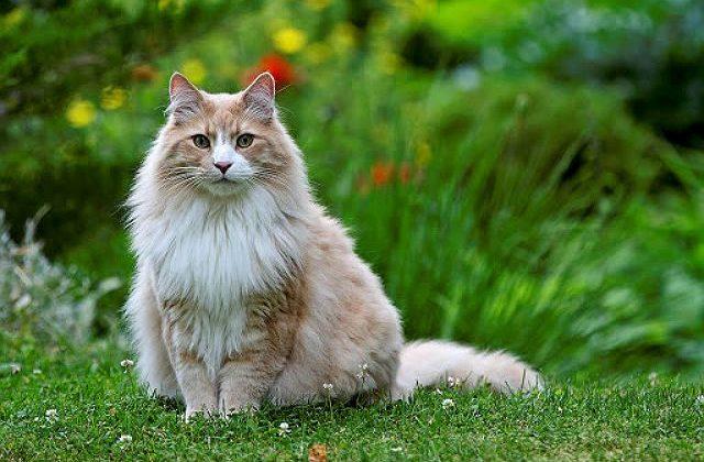 Норвежская лесная кошка рыжего окраса