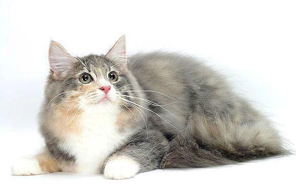 Норвежская лесная кошка - красавица