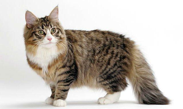 Норвежская лесная кошка - главное фото
