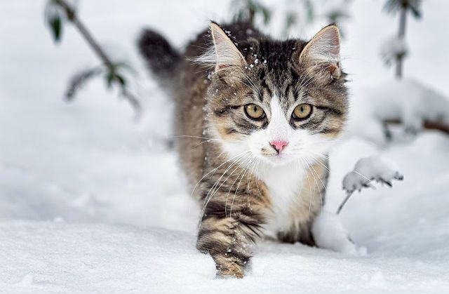 Норвежская лесная - котенок