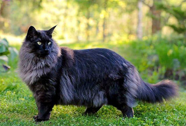 Норвежская лесная кошка темного окраса