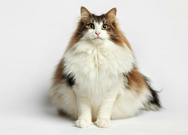 Норвежская лесная кошка трехцветная