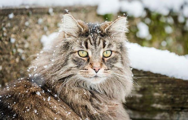 Норвежская лесная кошка - мордашка