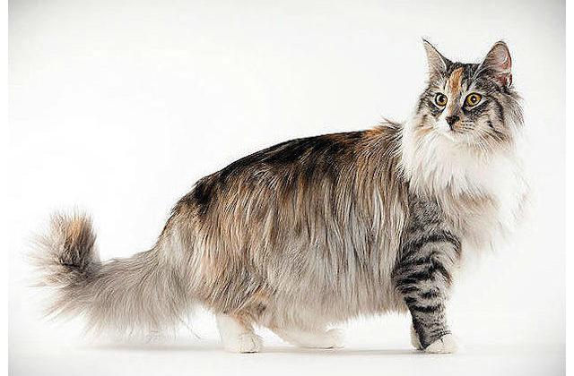 Норвежская лесная кошка - вид сбоку