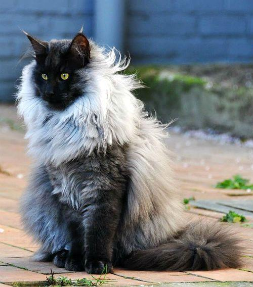 Новержская лесная - кошка с кисточками на ушах