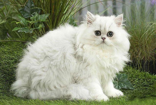 Персидская шиншилла из рекламы кошачьего корма