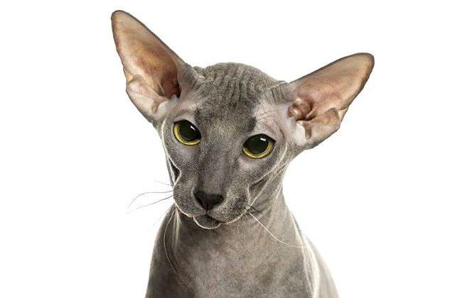 Кошка петерболд - голова