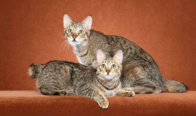 Кошки пикси-боб