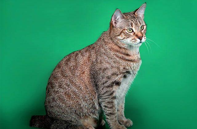 Кошка пикси-боб на зеленом фоне