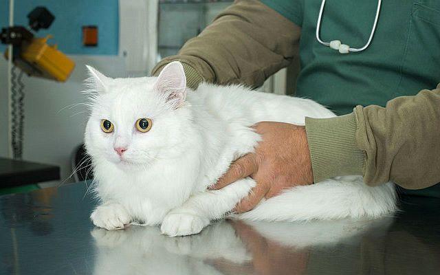 Почечная недостаточность - кошка у ветеринара