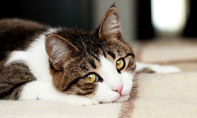 Преренальная почечная недостаточность у кошки