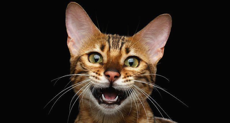 Почему кот орет по ночам