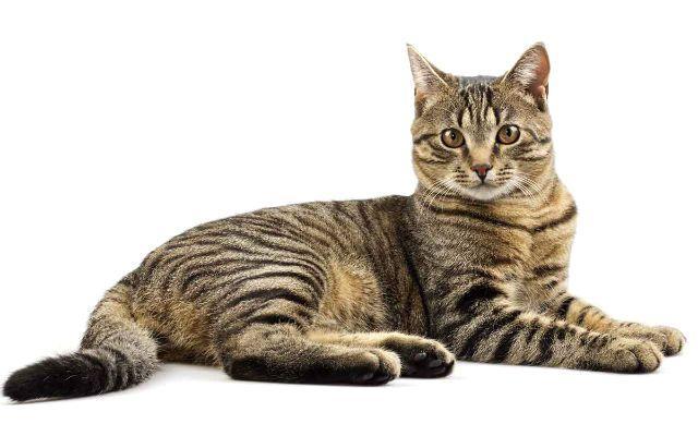 Полосатый кот из рекламы Kitekat