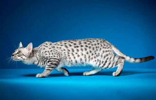 Египетская мау - охотничья порода кошки
