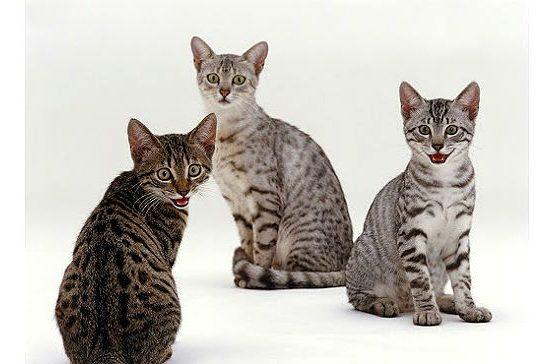 Котята породы Египетская мау