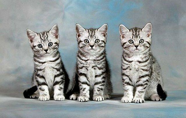 Порода кошек из рекламы корма Вискас