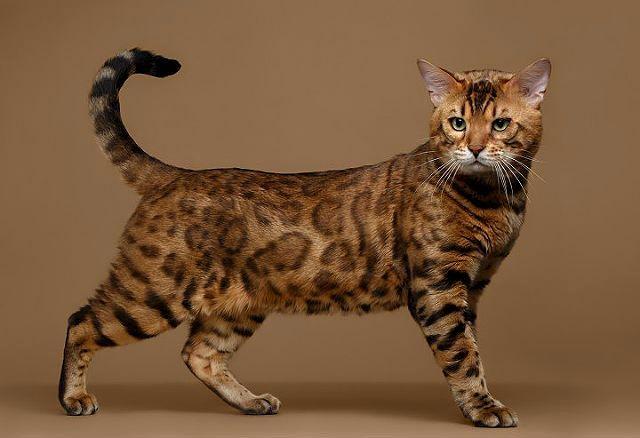 Пятнистая кошка Бенгал