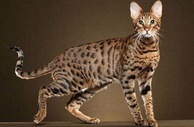 Пятнистая кошка саванна