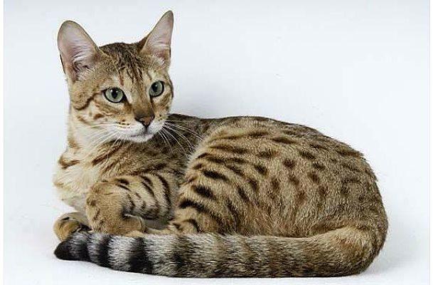 Пятнистая кошка серенгети
